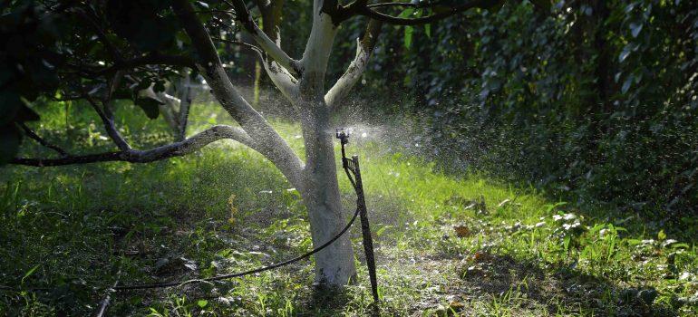 hệ thống tưới sủ dụng béc tưới phun sương mưa BS5000 cho cây bưởi 1