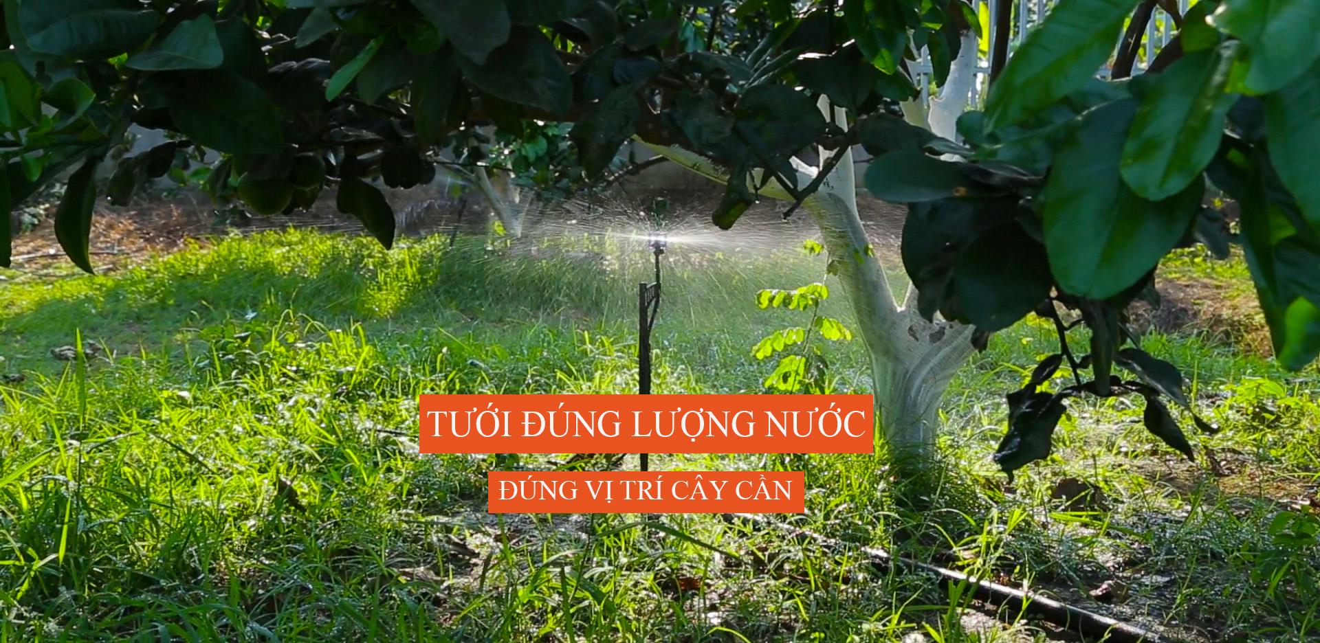 Hệ thống tưới sử dụng béc phun sương mưa BS5000 tưới cho cây bưởi