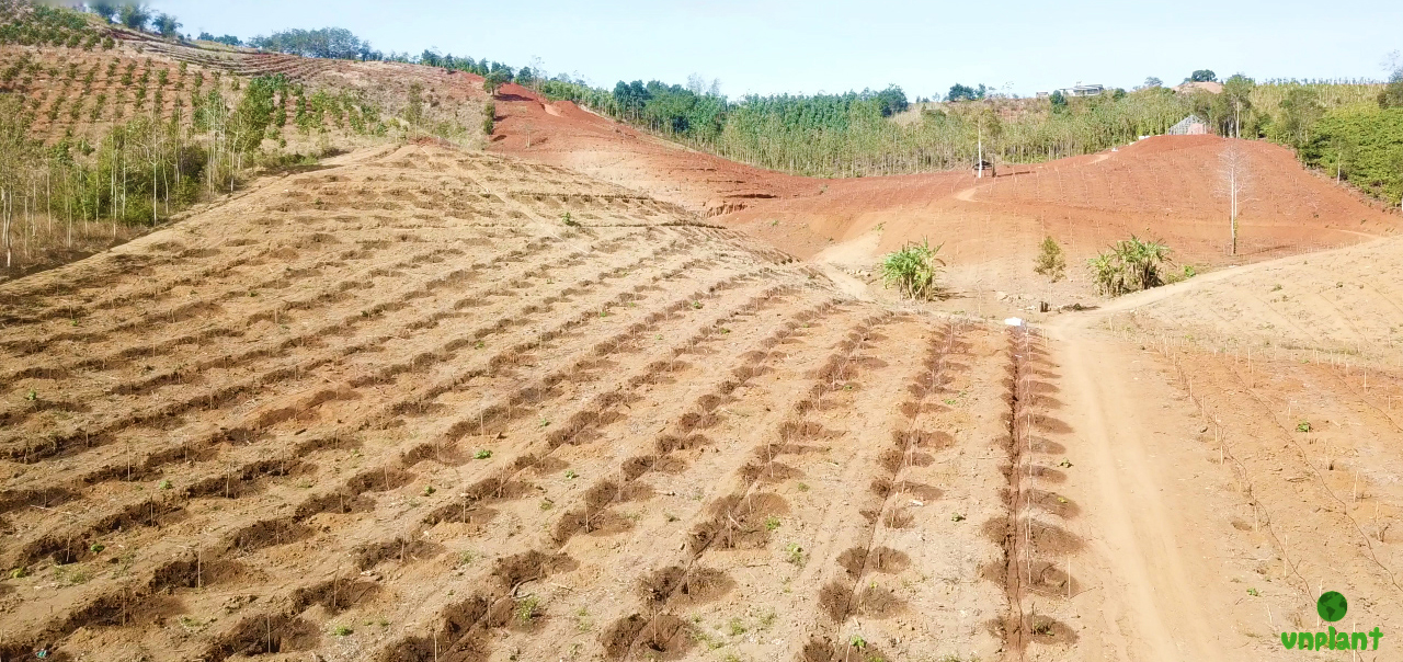 Tưới phun mưa bù áp đất đồi dốc cho 7 Ha bơ tại Đắk Nông