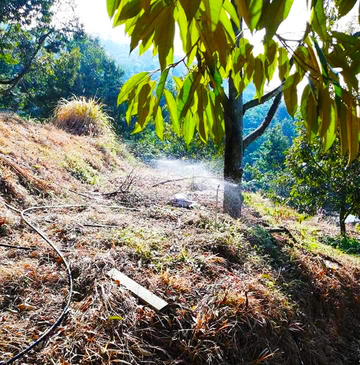 Béc tưới phun mưa tự động cho cây sầu riêng