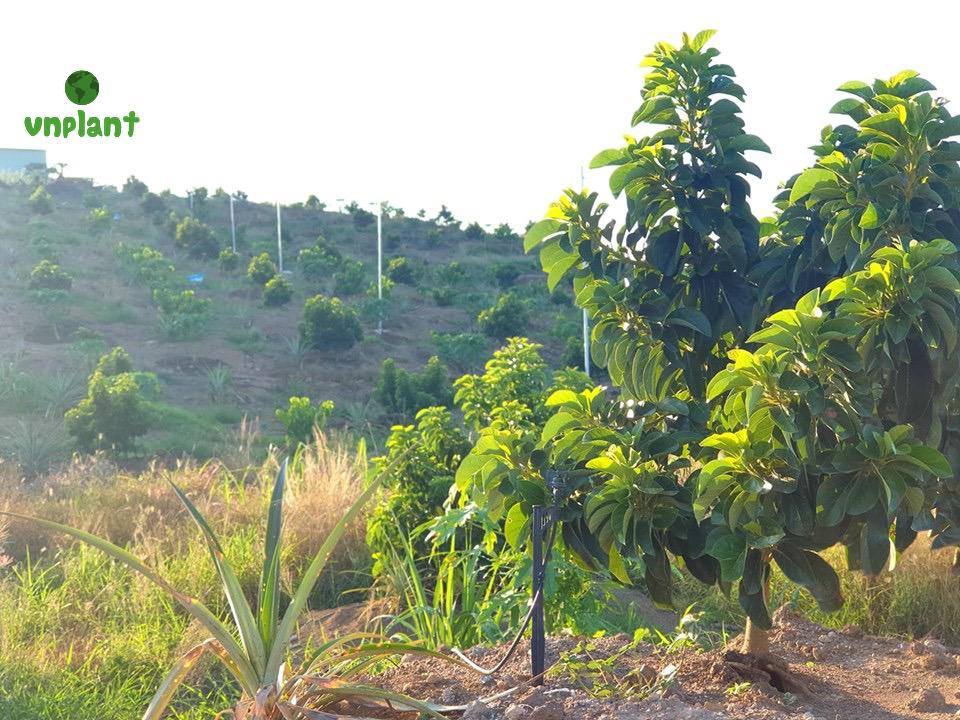 tưới phun mưa cucj bộ cho cây bơ đất đồi dốc