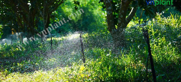 Hệ thống tưới phun mưa cho cây cam quýt