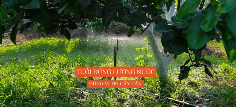 hệ thống tưới sủ dụng béc tưới phun sương mưa BS5000 cho cây bưởi 2