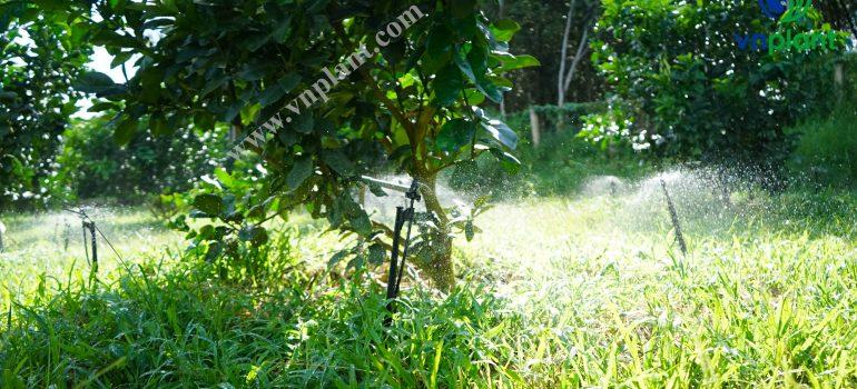 hệ thống tưới cho cây buỏi
